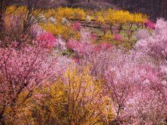 Hanamiyama Park - 花見山公園