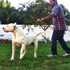 Logan - #DogoArgentinoBravuradelAyar Dog Argentino, Logan, Goats, Horses, Instagram, Animals, Wild Dogs, Hunting Dogs, Argentina
