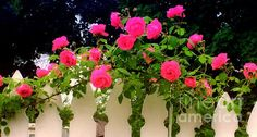 Pink Rose Pickets by Margaret Newcomb