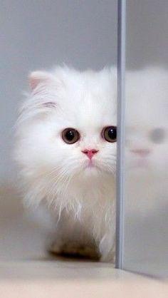 Cats #persiancatwhite #persiancatkitty