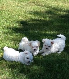 Cute and Fluffy Maltese Babies