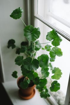 pelargoniums : Gardenista: article: http://www.gardenista.com/posts/field-guide-pelargonium
