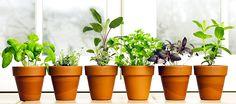 Domácí pěstování bylin, rostlin - Bylinky pro všechny
