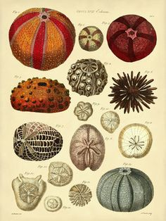 sea urchin (from european journal between 1700- 1800)