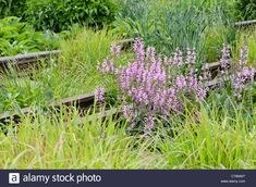 Meadow Clary (salvia Pratensis 'pink Delight') On A Shut Down Stock Photo, Royalty Free Image: 49364483 - Alamy