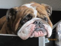 Handsome Bully Mug OMGosh! I just want to kiss that face!!