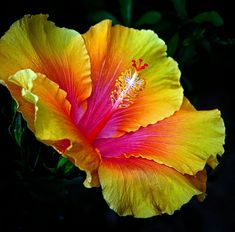 Hibiscus in gorgeous colors!