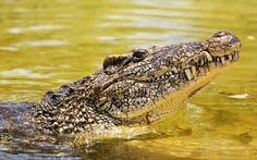 Resultado de imagen para cocodrilos