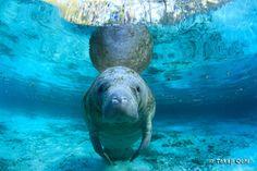 つみしま | マナティの海草場 ・フロリダ