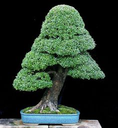 Ever since the karate kid I have always wanted one of these! Bonsai Art, Bonsai Plants, Bonsai Garden, Garden Trees, Trees To Plant, Garden Plants, Bonsai Trees, Beautiful Gardens, Beautiful Flowers