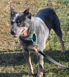 Johnny is a 3 year old outgoing, sweet and social #purebred #AustralianCattleDog. A medium energy level #dog, he thinks fetching a tennis ball for you is the best job on earth. He is a well behaved travel companion who rides well in the car and meets and greets all with wags and kisses. A lovely companion, he will do well in a family with teenage children. He may chase cats, but is proving to be highly trainable and will excel at obedience. http://www.doggielife.com/johhny/dogs/BOPWF7