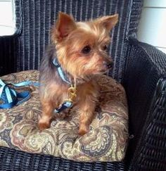 Frankie is an adoptable Yorkshire Terrier Yorkie Dog in Poughkeepsie, NY. Please contact kathy ( ksinatra@aol.com ), (845) 849-1635, (914) 475-7155 for more information about this pet. If your heart i...