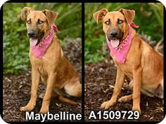 San Pedro, CA - German Shepherd Dog Mix. Meet BAILEY, a dog for adoption. http://www.adoptapet.com/pet/13016736-san-pedro-california-german-shepherd-dog-mix