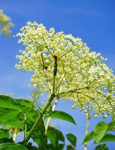 Černý bez patří vůbec mezi nejstarší byliny kultivované člověkem. Lidé ho začali pěstovat již před 4000 lety! Květy černého bezu jsou antiseptické, antioxidační a protizánětlivé. Tradičně se květy černého bezu používají při detoxikaci organismu, také při léčbě astmatu, alergií... Kromě toho, že je pro lidské tělo velmi prospěšný, výrobky z květů černého bezu také skvěle chutnají. Znáte recept na chutný bezový likér? A co limonáda z květů černého bezu? Skvělé jsou také různé bezové džemy… Plant Leaves, Flora, Plants, Plant, Planets