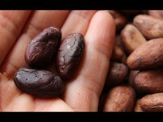 "Raw cacao beans are the seeds or ""nuts"" of the cacao tree. All chocolate in existence comes from this bean, a source of antioxidants, bitter alkaloids and en..."
