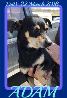 Chipin dog for Adoption in Sebec, ME. ADN-535291 on PuppyFinder.com Gender: Male. Age: Young