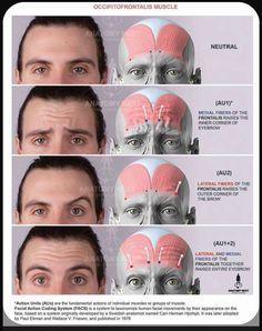 Facial Anatomy, Head Anatomy, Human Body Anatomy, Muscle Anatomy, Anatomy Drawing, Anatomy Male, Facial Fillers, Botox Fillers, Dermal Fillers