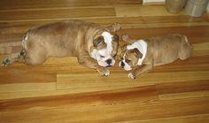 love bull dogs :)