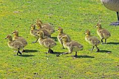 digitalmarbles posted a photo:  10 little newborn Canada Geese goslings on the prowl at the George C. Reifel Migratory Bird Sanctuary Delta BC Canada