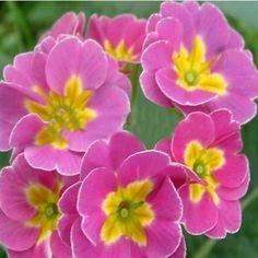 Polyantha Victorian Laced Primula Primrose Mix Flower Pacific Giants