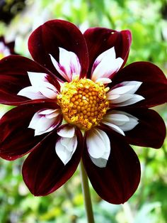This tri-color Dahlia is a stunner. The deep maroon petals accented with white inner petals, surrounding a golden center would really grab the eye of the beholder. We like to use unique flowers in our planning Minneapolis MN area #GardenDesigns. http://www.aldmn.com