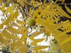 Blätter und Frucht der Schwarznuss | black walnut tree #foraging
