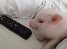 Miniature Pet Pigs – Why Are They Such Popular Pets? – Pets and Animals Cute Baby Pigs, Cute Piglets, Baby Animals Super Cute, Cute Funny Animals, Cute Babies, Teacup Pigs, Funny Pigs, Mini Pigs, Pet Pigs