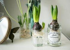 瓶でヒヤシンスの水栽培 Water Plants, Potted Plants, Garden Plants, Indoor Plants, Green Flowers, Green Leaves, Indoor Garden, Greenery, Bulb