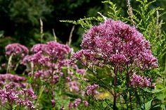 P r a i r i e F l o r a - Prairie Flora Home Page