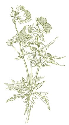 Geranium Drawing #Printable #Vintage #Floral