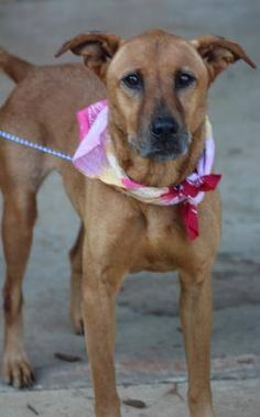 ADOPTED> NAME: Shy  ANIMAL ID: 33341667 BREED: shep mix SEX: female spayed EST. AGE: 6yr Est Weight: 35lbs Health: heartworm neg Temperament: dog friendly people friendly ADDITIONAL INFO:  RESCUE PULL FEE: $35 Intake date: 8/30 Available: now