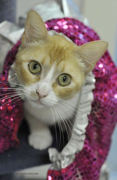 01/01/16 SL~~~Esther is a very pretty cat. She would be a great addition to a family of any size! She is available at Humane Society & Adoption Center of Rockport-Fulton, Fulton, Tx.