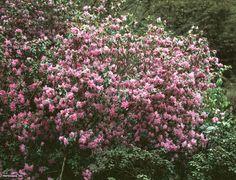 Rhododendron (Rhododendron dauricum)