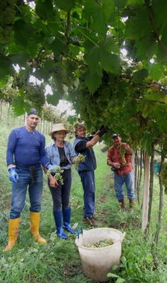 It really is a family affair: starting from the harvest!  #soave #wine #winery #family #italian #style #holiday