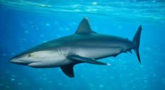 Image result for photo of shark