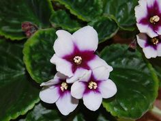 African Violet - My Love