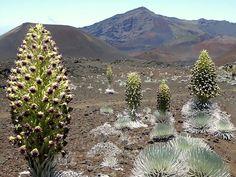 Haleakala volcano's endangered, endemic silverswords begin blooming in unusually large numbers | Hawaii Magazine