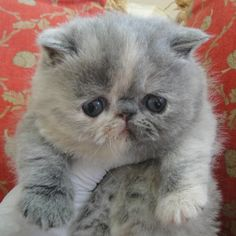 Adult kitty persian