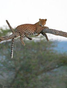 Leopard, Kruger park.