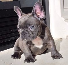 Grey French bulldog