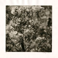 southernweeds003 Printmaking, Dandelion, Flowers, Plants, Outdoor, Outdoors, Dandelions, Printing, Graphics
