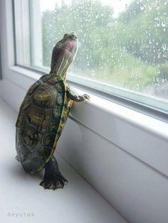 Turtle looking out window; Glad to see that other turtles do this too, not just mine =) rf