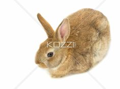 rabbit - Brown rabbit sitting with a white background