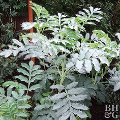 Best Silver-Leaf Plants for Your Garden Melianthus major Growing Conditions: Full sun and well-drained soil Plant Size: To 10 feet tall and wide as a shrub; to 3 feet tall and wide as an annual Zones: grown as an annual in colder-winter areas Landscaping Shrubs, Garden Shrubs, Flowering Shrubs, Landscaping Ideas, Garden Plants, Farmhouse Landscaping, Outdoor Landscaping, Outdoor Plants, Evergreen Shrubs