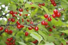 Do you have red fruit growing on tall bushes or trees in your back yard? Not sure if they're edible? Here's are some red berries/cherries you might have growing in your backyard.