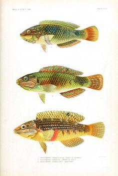 Animal - Fish - Samoa  (7)