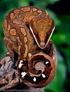 malaysian cat gecko | michael kern