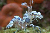 Harlequin shrimp make good tank mates. Pet Shrimp, Shrimp Tank, Pet Seahorse, Marine Tank, Cool Tanks, Down South, Made Goods, Fish Tank, Underwater