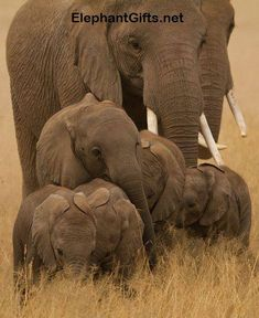 Visit ElephantGifts.net for more funny elephant photos and videos Elephants Never Forget, Save The Elephants, Elephant Family, Elephant Love, Funny Elephant, Mama Elephant, Elephant Gifts, African Elephant, African Animals