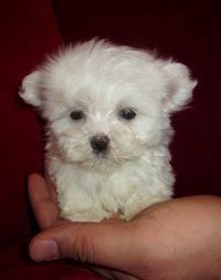 Teacup Maltese - what a little doll Tiny Puppies, Teacup Puppies, Cute Puppies, Cute Dogs, Baby Animals, Cute Animals, Maltese Dogs, Maltese Poodle, Little Doll